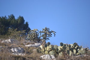 Opuntia spp. - Oponce - 08