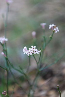 Asperula cynanchica - Aspérule - 02