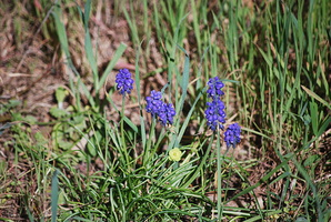 Muscari neglectum - Muscari négligé