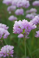 Allium roseum - Ail rose - 03