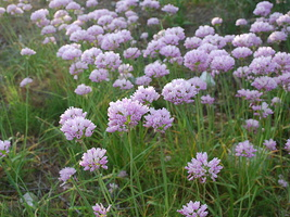 Allium roseum - Ail rose - 05