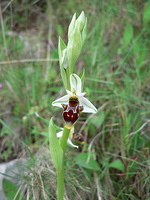 Ophrys fuciflora subsp. pseudoscolopax - Ophrys bécasse