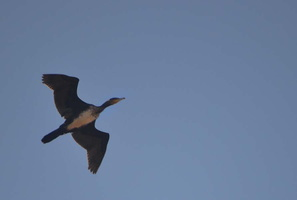Phalacrocorax carbo - Grand Cormoran - 04