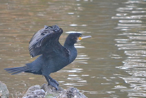 Phalacrocorax carbo - Grand Cormoran - 03