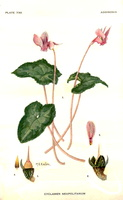Cyclamen hederifolium Aiton [as Cyclamen neapolitanum Ten.]  (1946)