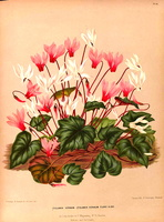 Cyclamen hederifolium Aiton [as Cyclamen vernum Oudemans]