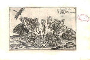 Cyclamen hederifolium Aiton [as Cyclaminos folio hederae]  (1614)