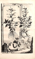 Parietaria judaica L. [as Parietaria minor ocymifolia] (1696)