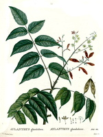 Ailanthus altissima (Miller) Swingle [as Ailanthus glandulosa Desf.]  (1800-1803)