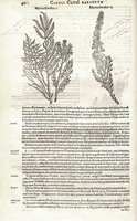 Tamarix gallica L. [as Myrica sylvestris II] (1601)
