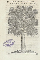 Tamarix gallica L. [as Tamariscus atle] (1640)