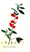 Pyracantha coccinea M. Roemer [as Mespilus pyracantha L.] (1825)
