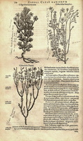 Helianthemum lavandulifolium Desf. [as Cistus folio Lavendulae]  (1601)
