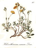 Helianthemum oelandicum (L.) DC. [as Helianthemum canum (L.) Hornem.]  (1839)