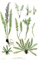 Ceterach officinarum Willd. (1855)
