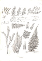 Ceterach officinarum Willd.(1856)