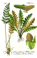 Ceterach officinarum Willd.(1885)