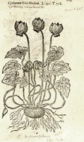 Cyclamen hederifolium Aiton [as Cyclamen folio hederae]  (1581)