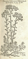 Sedum album L. [as Vermicularis] (1581)