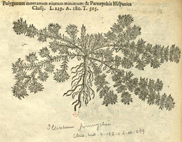 Paronychia argentea Lam. [as Polygonum montanum niveum minimum] (1581)