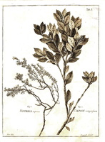 Frankenia hirsuta L. [as Nothria repens P.J.Bergius]  (1767)