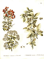 Pyracantha coccinea M. Roemer [as Mespilus pyracantha L.]  (1784)