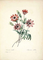 Anemone hortensis L. [as Anemone stellata Lam.]  (1833)