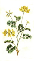 Coronilla valentina L. [as Coronilla glauca L.] (1787)