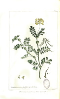 Coronilla valentina L. [as Coronilla valentia L.]  (1755-1760)