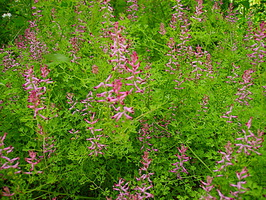 Fumaria officinalis - Fumeterre officinale - 02