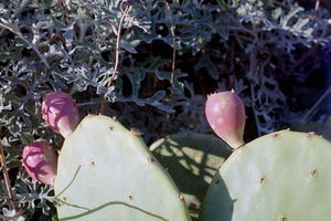 Opuntia sp. - Oponce - 05