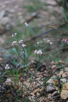 Asperula cynanchica - Aspérule