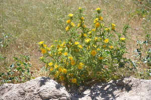 Scolymus hispanicus - Scolyme d'Espagne