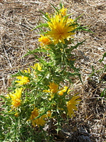 Scolymus hispanicus - Scolyme d'Espagne - 02