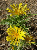 Scolymus hispanicus - Scolyme d'Espagne - 03