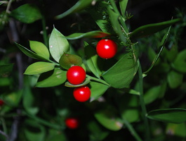 Ruscus aculeatus - Fragon faux houx - 02
