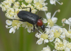 Cantharis rustica - Moine - 02
