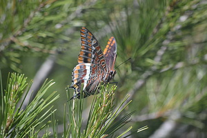 Charaxes jasius - Jason