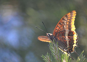 Charaxes jasius - Jason - 02