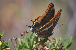 Charaxes jasius - Jason - 04