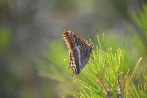 Charaxes jasius - Jason - 06