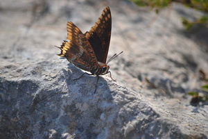Charaxes jasius - Jason - 07