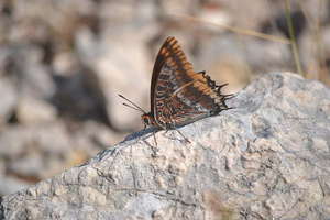Charaxes jasius - Jason - 08