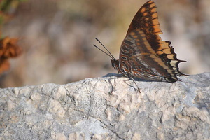 Charaxes jasius - Jason - 09
