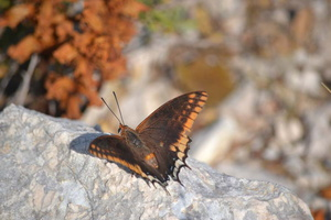 Charaxes jasius - Jason - 10