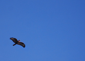 Buteo buteo - Buse variable