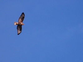 Buteo buteo - Buse variable - 02