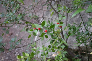 Ruscus aculeatus - Fragon faux houx - 04