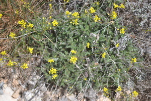 Sisymbrium officinale - Sisymbre officinal