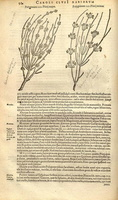 Ephedra distachya L. [as Polygonum IIII Plinii majus]